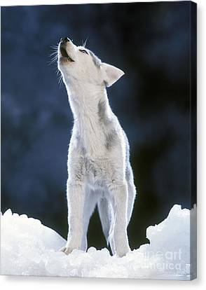 Siberian Husky Howling Canvas Print by Jean-Michel Labat