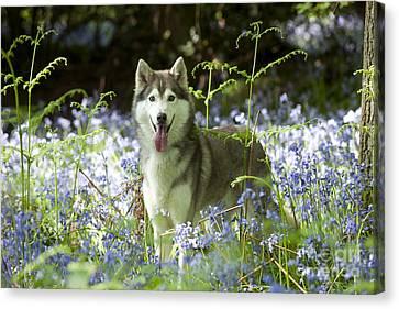 Siberian Husky In Bluebells Canvas Print