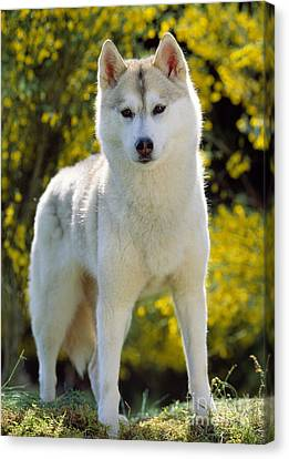 Siberian Husky Canvas Print by Jean-Michel Labat
