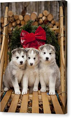 Siberian Husky Puppies In Traditional Canvas Print by Jeff Schultz