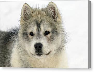 Siberian Husky Puppy Canvas Print by M. Watson