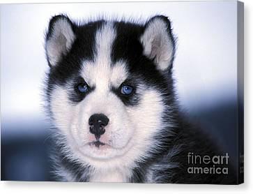 Siberian Husky Puppy Canvas Print by Rolf Kopfle