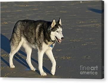 Siberian Husky Walking On Beach Canvas Print