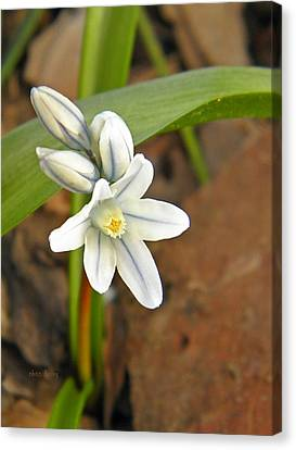 Siberian Squill Bloom Canvas Print by Chris Berry