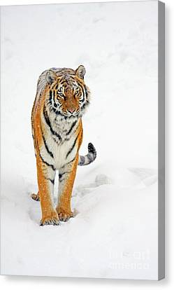 Siberian Tiger Animal Canvas Print by Boon Mee