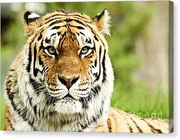 Siberian Tiger Beautiful Closeup Canvas Print by Boon Mee