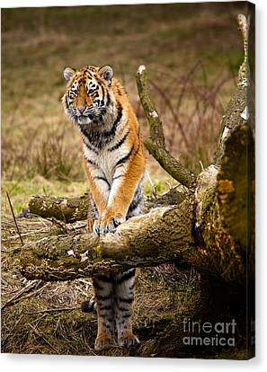 Siberian Tiger Canvas Print by Boon Mee