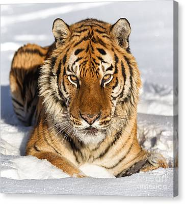 Siberian Tiger Face To Face Canvas Print by Jerry Fornarotto