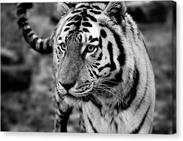 Siberian Tiger Monochrome Canvas Print by Semmick Photo