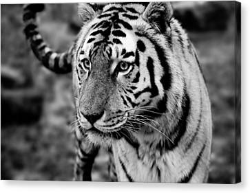 Siberian Tiger Monochrome Canvas Print by Semmick Photo