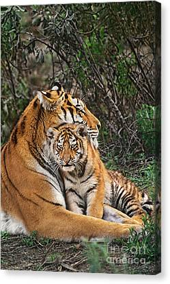 Siberian Tiger Mother And Cub Endangered Species Wildlife Rescue Canvas Print by Dave Welling