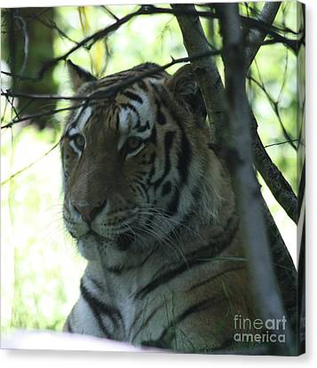 Siberian Tiger Profile Canvas Print by John Telfer