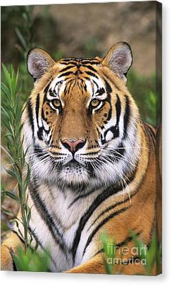Siberian Tiger Staring Endangered Species Wildlife Rescue Canvas Print by Dave Welling