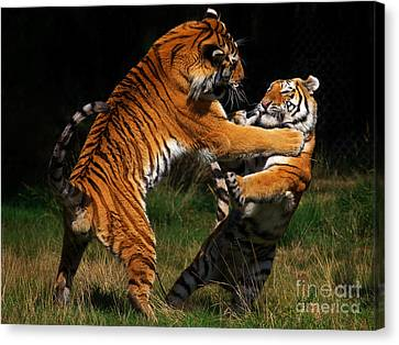 Siberian Tigers In Fight Canvas Print by Nick  Biemans