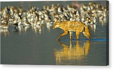 Side Profile Of A Golden Jackal Wading Canvas Print by Panoramic Images
