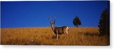 Mule Deer Canvas Print - Side Profile Of A Mule Deer Standing by Panoramic Images