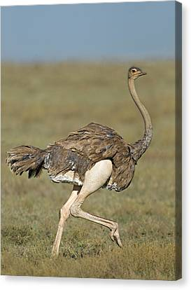Ostrich Canvas Print - Side Profile Of An Ostrich Running by Panoramic Images