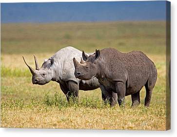 Side Profile Of Two Black Rhinoceroses Canvas Print by Panoramic Images
