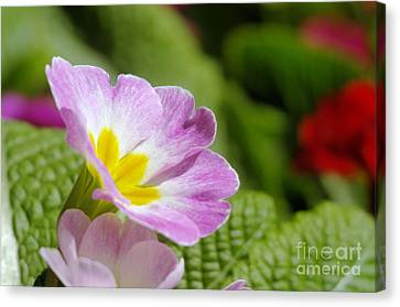 Side View Of A Spring Pansy Canvas Print by Jeff Swan