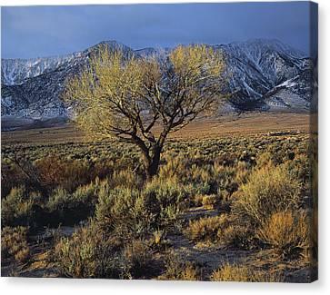 Sierra Sunlit Tree Canvas Print