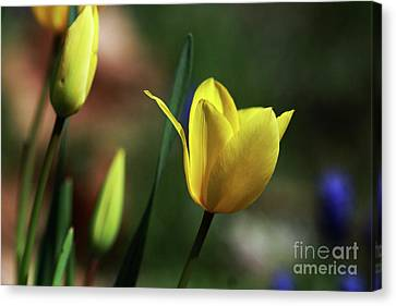 Signs Of Spring II Canvas Print by Douglas Stucky