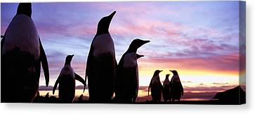 Silhouette Of A Group Of Gentoo Canvas Print