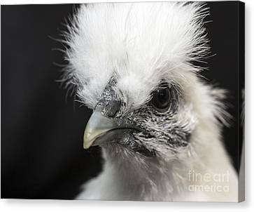 Silkie Chicken Portrait Canvas Print