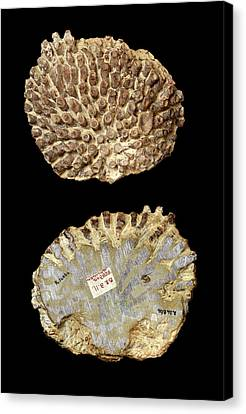 Silurian Coral Fossil Canvas Print by Natural History Museum, London