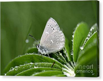 Silver Butterfly Canvas Print by Alana Ranney