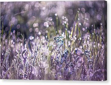 Silver Grass 1. Small Natural Wonders Canvas Print by Jenny Rainbow