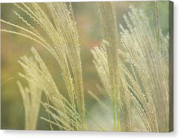 Silver Grass Canvas Print by Beverly Claire Kaiya