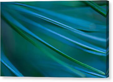 Canvas Print featuring the photograph Silver Pine by Jacqui Boonstra
