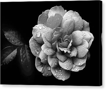 Rose Rain Canvas Print by Jessica Jenney