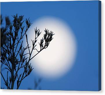 Silver Moonlight Canvas Print - Silver Sage by Jim Garrison