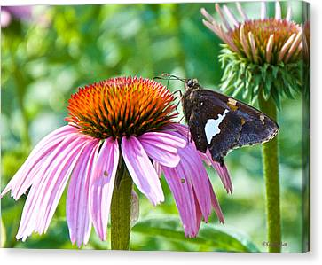 Silver-spotted Skipper And Echinachea Canvas Print