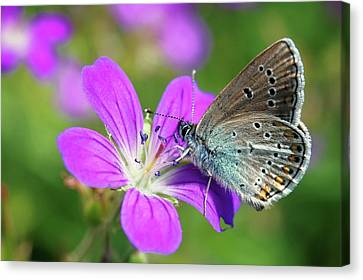 Silver-studded Blue On Geranium Canvas Print by Heiti Paves