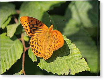 Canvas Print featuring the photograph Silver-washed Fritillary  - Male - Argynnis Paphia by Jivko Nakev