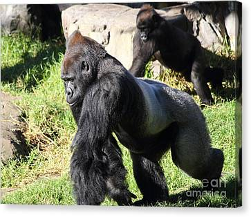 Silverback Gorilla 7d27234 Canvas Print by Wingsdomain Art and Photography