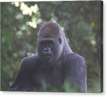 Zoo Canvas Print - Silverback Gorilla by Cathy Lindsey