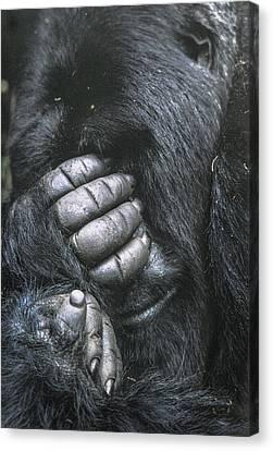 Silverback Mountain Gorilla Imbaraga In Volcanoes National Park Rwanda Canvas Print