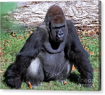 Gorilla Canvas Print - Silverback Western Lowland Gorilla by Millard H. Sharp