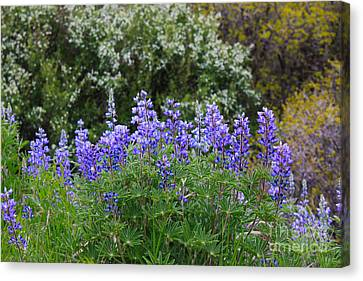 Canvas Print featuring the photograph Silvery Lupine Black Canyon Colorado by Janice Rae Pariza