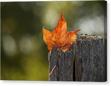 Simply Autumn Canvas Print by Penny Meyers