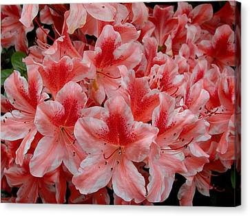 Simply Azaleas Canvas Print by Rodney Lee Williams
