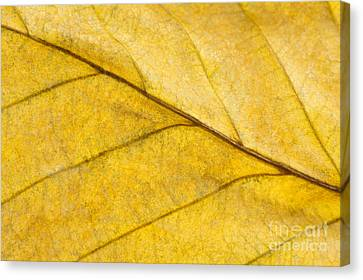 Simply Beech Canvas Print by Anne Gilbert