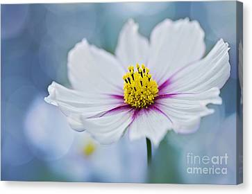 Simply Cosmos Canvas Print by Jacky Parker