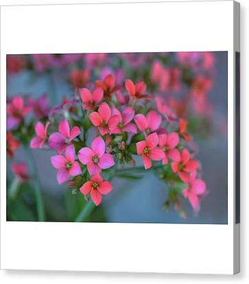 Simply Kalanchoe Canvas Print