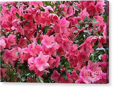 Simply Beautiful Pink Azaleas Canvas Print