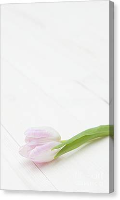 Simply Tulip Canvas Print by Anne Gilbert