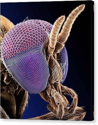 Simulian Blackfly Canvas Print by Natural History Museum, London